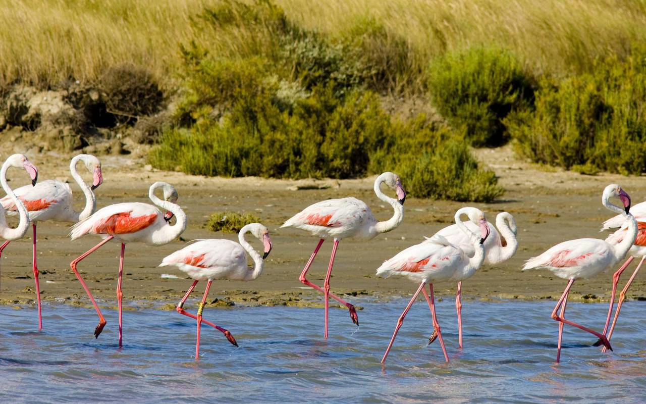 flamands rose en camargue